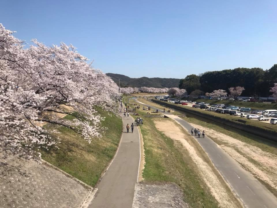 Riding Through Cherry Blossoms on our Japan Three Island Tour